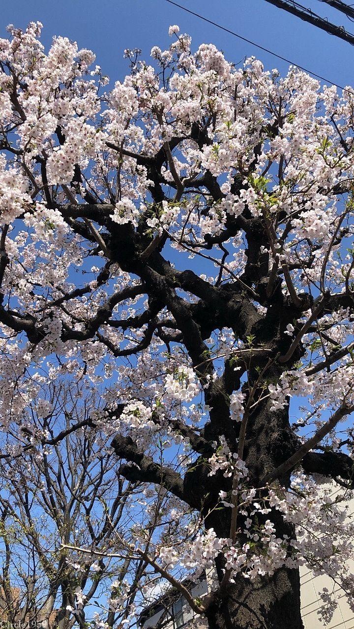 桜の季節がやってきた!桜満開ハルウララ!!