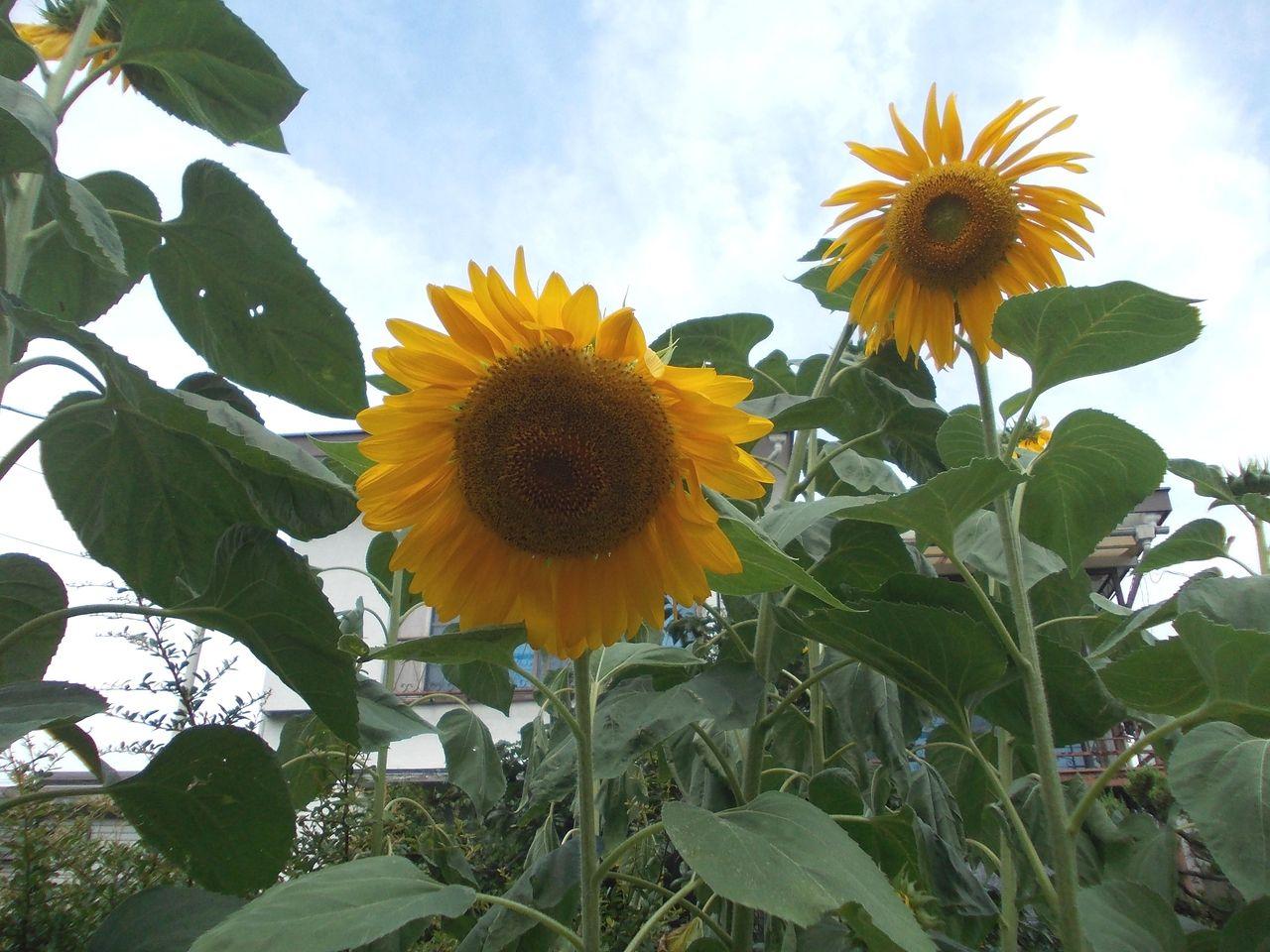今年初の向日葵を世田谷上町で見かけました